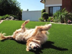 Pet-friendly artificial grass showing a Tampa dog happily rolling around in it.